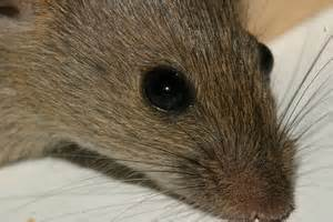 a boss of a birmingham takeaway forced to closed after a mice infestation was found guilty of five offences under the food hygiene england regulations